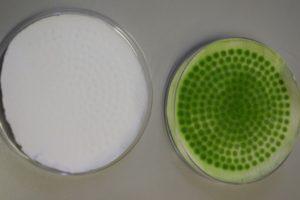 Una colonia di cianobatteri impiegata nell'esperimento.